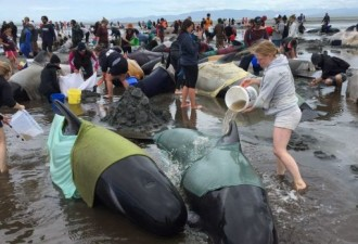 В Новой Зеландии 200 дельфинов вновь выбросились на берег (4 фото)
