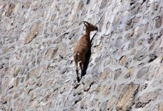 Козлы-скалолазы, которые дадут фору даже альпинистам (10 фото)