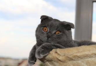 «Пушистое счастье»: сколько стоят кошки популярных пород в Украине (9 фото)