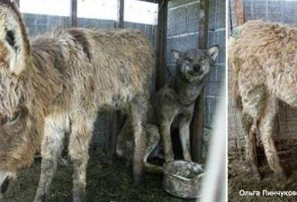 Чтобы накормить волка, хозяева кинули ему в клетку старого осла (фото,видео)
