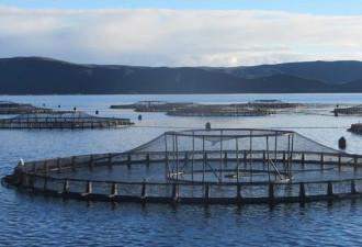 Посмотрите, что нашли на лососевых фермах (4 фото)