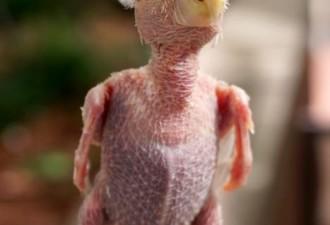 Бесперый попугай стал звездой соцсетей (9 фото)