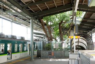 Почему японцы построили станцию вокруг 700-летнего дерева, а не просто спилили его (6 фото)