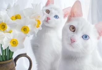 Две самые красивые в мире кошки (10 фото)