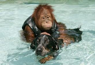 Маленький орангутан впал в тяжелую депрессию