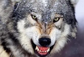 В Канаде волк 12 часов гонял женщину по лесу (3 фото)