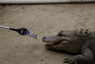 Необычный краш-тест iPhone 7 в пасти крокодила (видео)