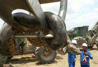 В Бразилии поймали десятиметровую анаконду-монстра (видео)