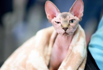Она заплатила $700 за лысого кота породы Сфинкс. Но знаете, кто это был? (6 фото)