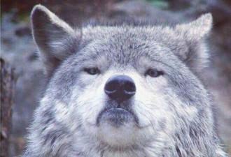 Все парятся, переживают, один Волк спокоен
