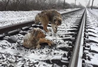 Пёс двое суток защищал собой раненую подругу от проходящих поездов (видео)