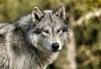 Поучительная история волчьей мести