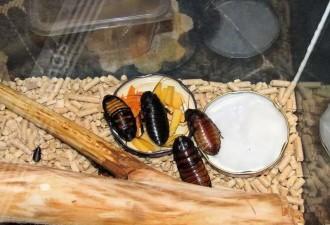 Как то раз мой муж притащил домой мадагаскарского таракана