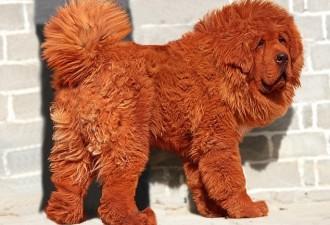 Самая дорогая собака в мире (3 фото)