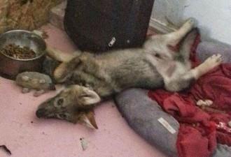 Взяв бесплатного щенка, этот парень вскоре понял, что тот вырос в нечто другое (8 фото)