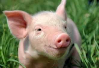 «А свиньи-то у неё, знаешь, какие жирные вырастали?»