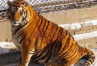 В китайском зоопарке по неизвестной причине растолстели амурские тигры (5 фото)