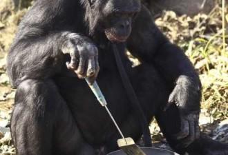 Шимпанзе умеет разводить огонь и готовить на нем еду (фото, видео)
