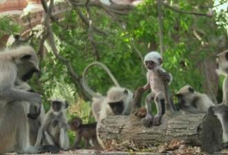 Они подбросили обезьянам куклу (фото, видео)