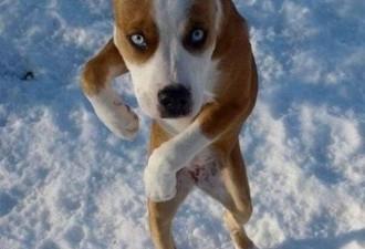 Собаки, которые стали ходить как люди (11 фото)