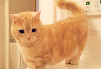 Если вы мечтали, чтобы ваш котёнок никогда не вырастал, эта порода для вас! (10 фото)