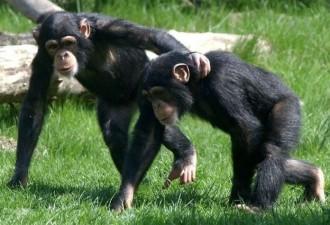 Водитель попросил отвезти этих шимпанзе в зоопарк