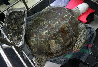 Ветеринары извлекли 5 кг монет из черепахи-копилки (8 фото)