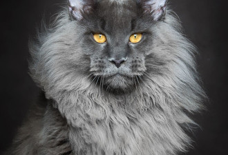 Мэйкуны — невероятные коты. Царь зверей в миниатюре! (16 фото)