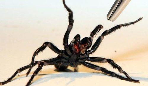 Рис.8 Сиднейский паук атакует