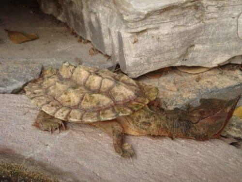 Рисунок 10. Черепаха матамата