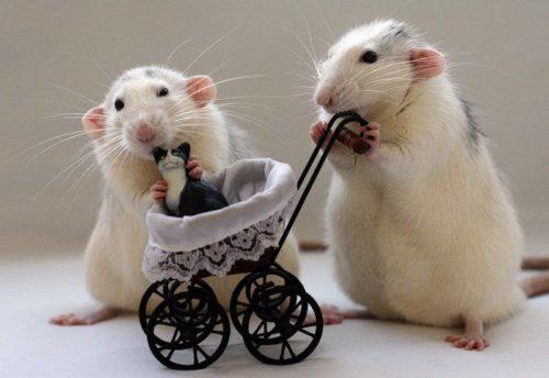 Рисунок 1. Ручные крысы