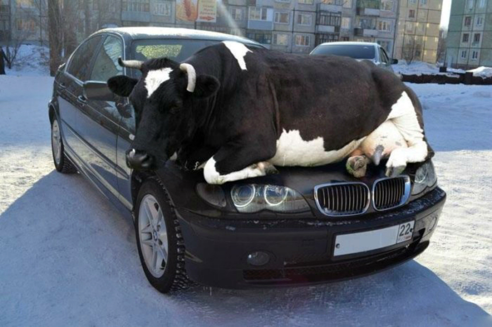 bull-sitting-on-car-bonnet-funny-picture