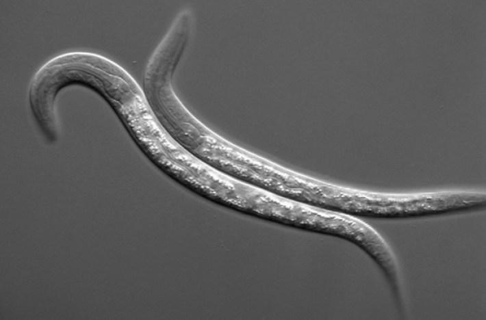 c_elegans