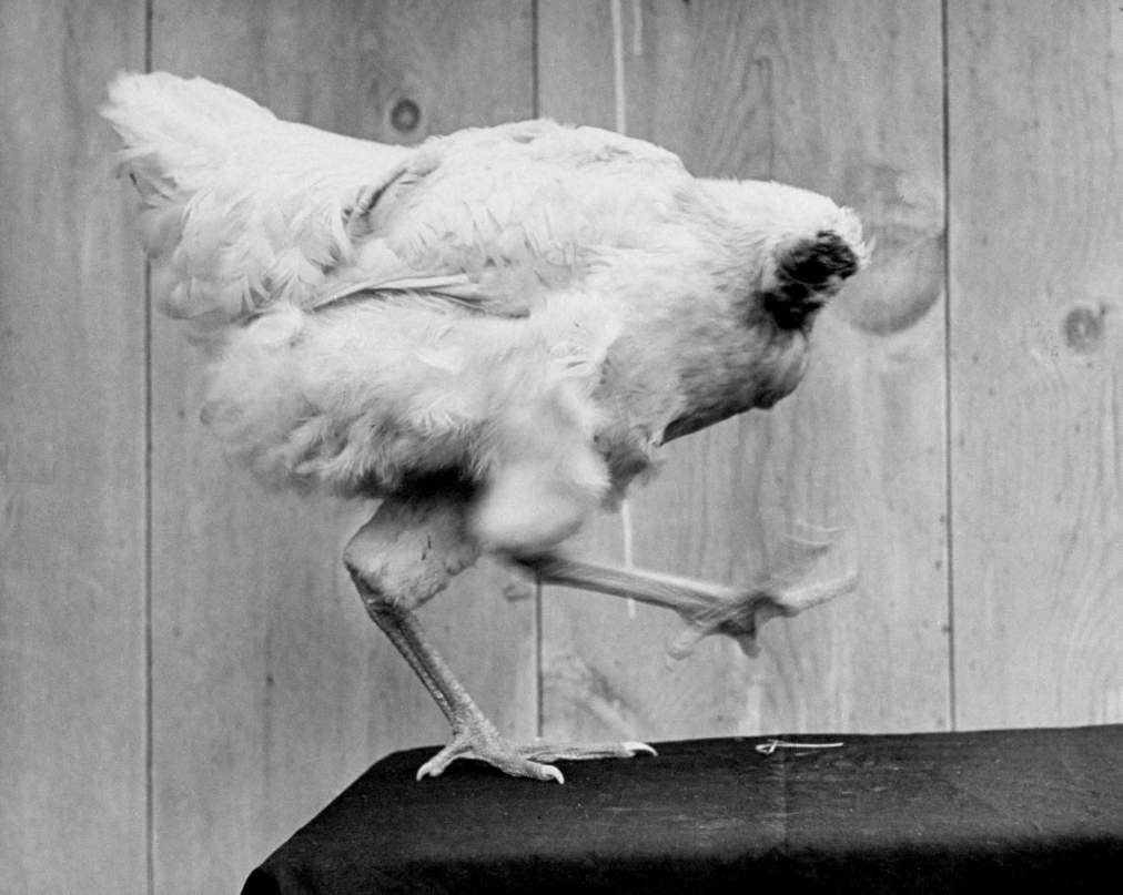 "Mike the headless chicken ""dances"" in 1945."