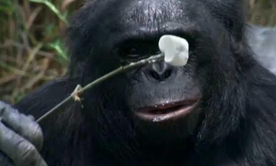 udalos-zapechatlet-kak-shimpanze-razvel-koster-i-p