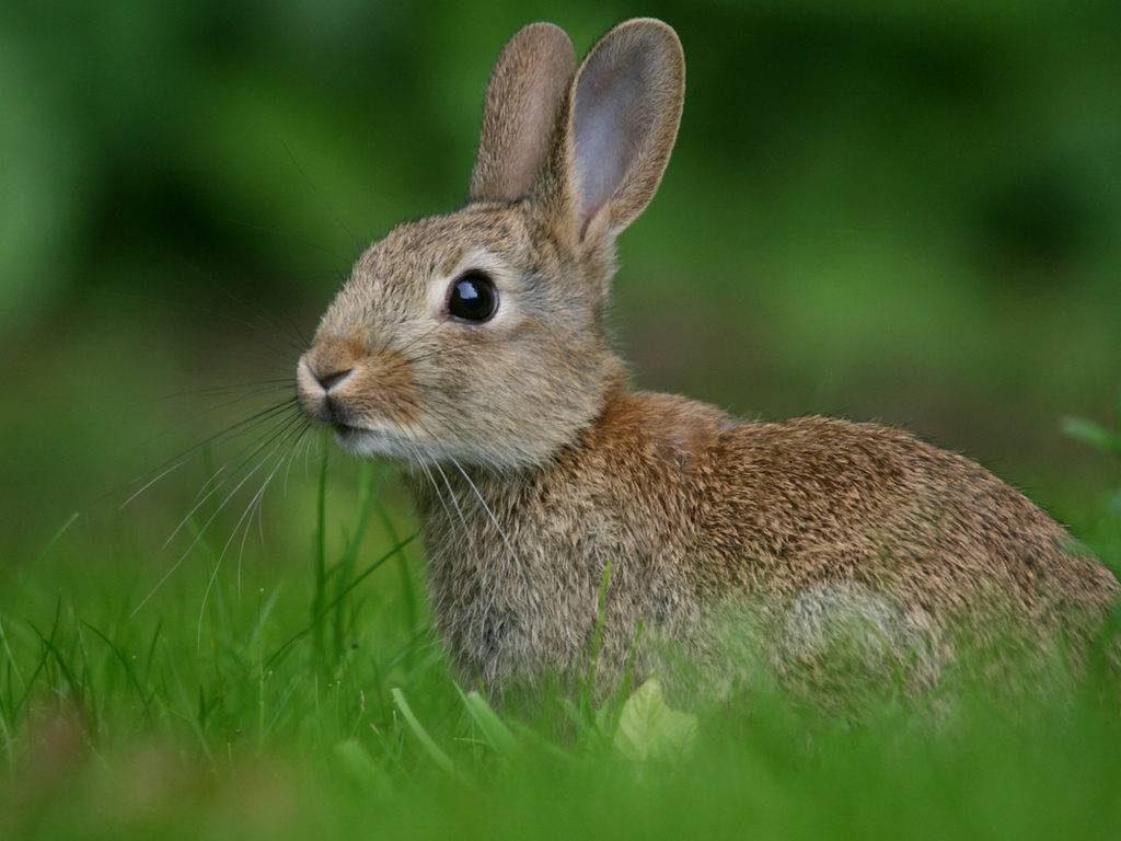Заяц-русак-лат.-Lepus-europaeus-1024x768