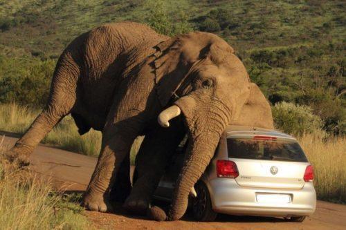 Рисунок 5. У слонов уникальная память. Обидчиков они запоминают надолго