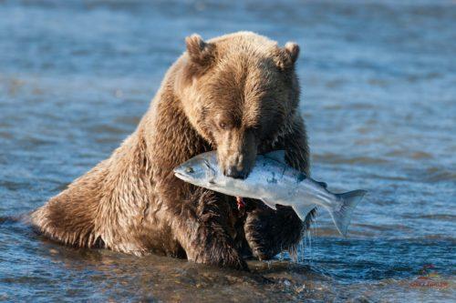 Рисунок 1. Встреча с медведем очень опасна