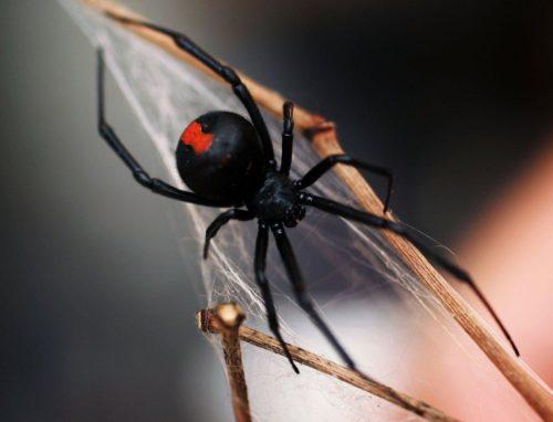 Рис.4 Красноспинный паук Latrodectushasselti