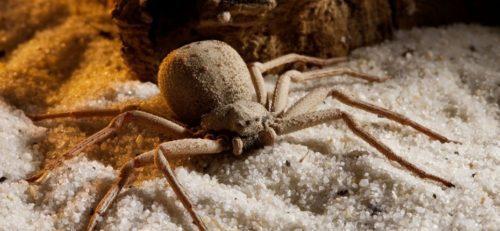 Рис. 9 Песочный шестиглазый паук