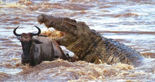 Рисунок 6. Гигантский нильский крокодил со своей жертвой