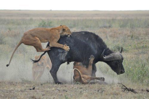 Рисунок 7. Годовалые львята на охоте
