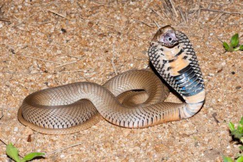 Рисунок 7. Плюющая ядовитая кобра