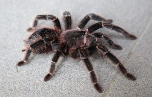 Рисунок 9. Самый дорогой паук на земле