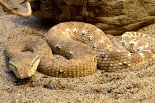 Рисунок 2. От укусов песчаной эфы в Африке ежегодно погибает больше, чем от других змей, вместе взятых