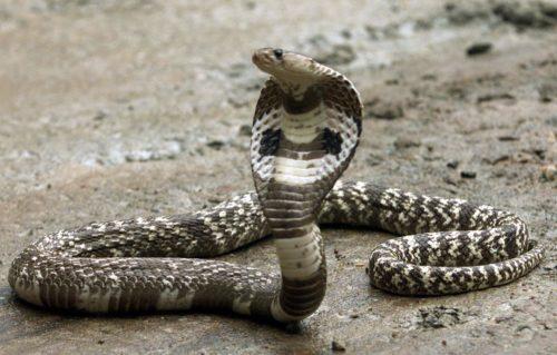 Рисунок 3. Самая «миролюбивая» ядовитая змея