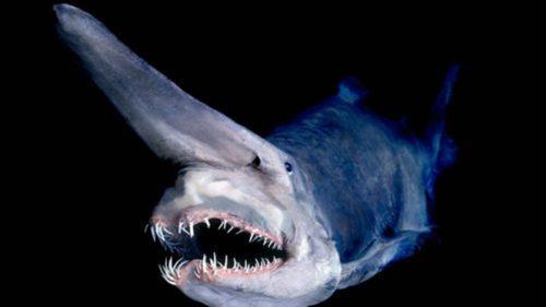 Рисунок 9. Акула-гоблин