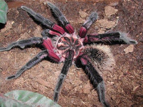 Рисунок 6. Самый гламурный паук в мире