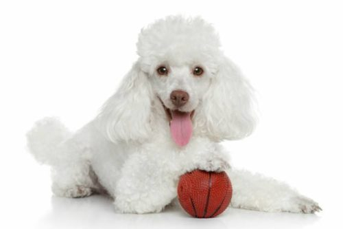 Рисунок 6. Собака породы пудель
