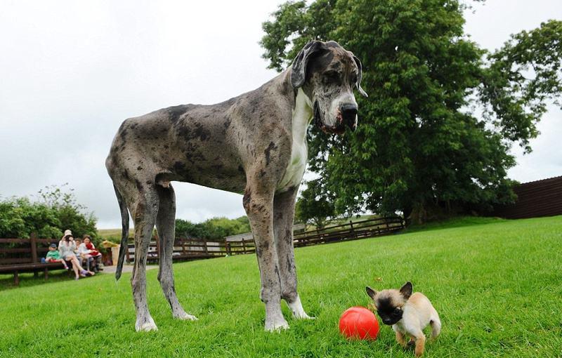 Топ-10 самых крупных собак в мире: фото питомцев-гигантов